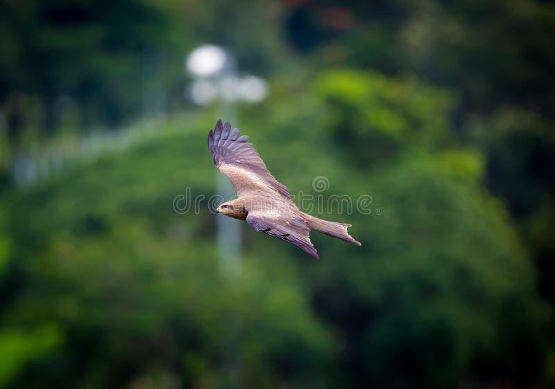 Zwarte Vlieger, India royalty-vrije stock fotografie
