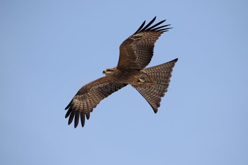 Zwarte Vlieger Milvus migrans tijdens de vlucht royalty-vrije stock afbeeldingen