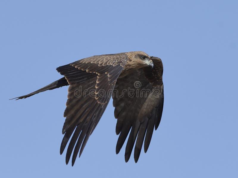 Zwarte Vlieger Milvus migrans stock foto