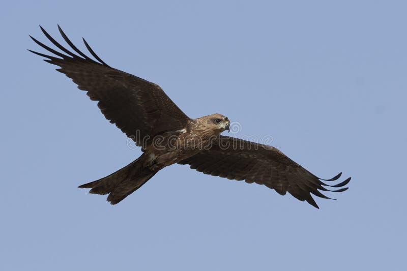 Zwarte Vlieger Milvus migrans royalty-vrije stock afbeeldingen