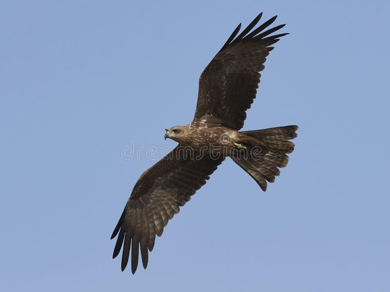 Zwarte Vlieger Milvus migrans royalty-vrije stock foto's