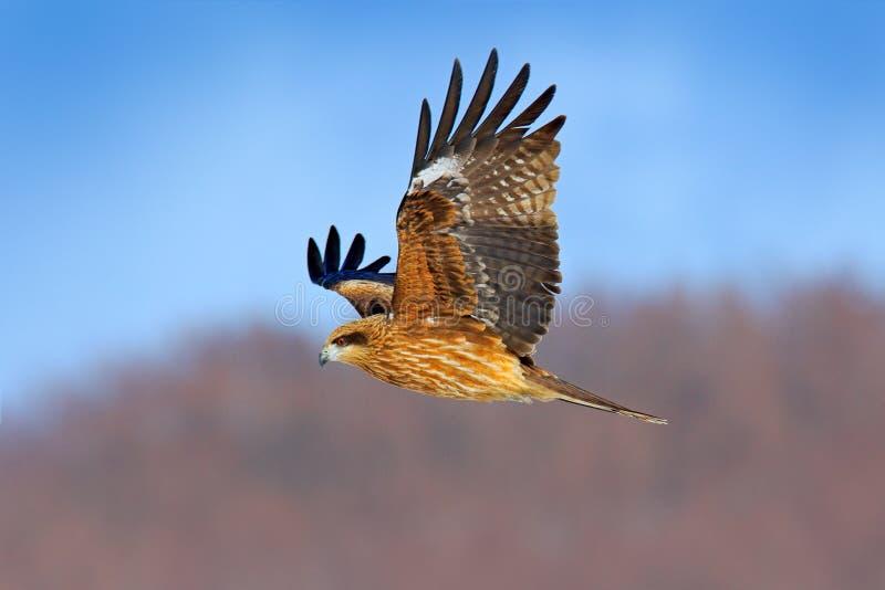 Zwarte vlieger tijdens de vlucht, Milvus migrans Roofvogel die boven sneeuwweide met vangst vliegen Vlieger met open vleugels en  stock afbeelding