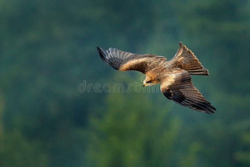 Zwarte vlieger tijdens de vlucht, Milvus migrans, roofvogel vlieg boven winterse weide met sneeuw De jacht van dier met vangst royalty-vrije stock afbeeldingen