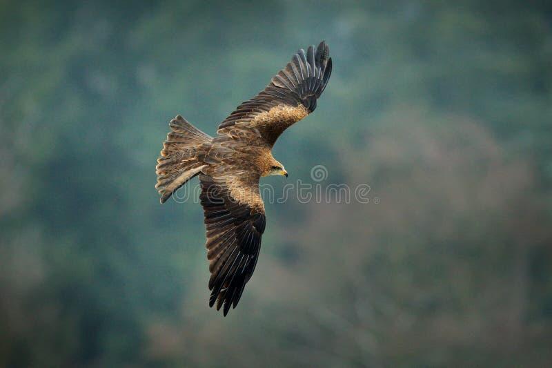 Zwarte vlieger tijdens de vlucht, Milvus migrans, roofvogel vlieg boven winterse weide met sneeuw De jacht van dier met vangst royalty-vrije stock foto's