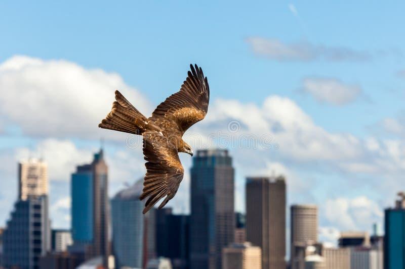 Zwarte vliegerroofvogel tijdens de vlucht met de horizon van Sydney in backgroun stock fotografie