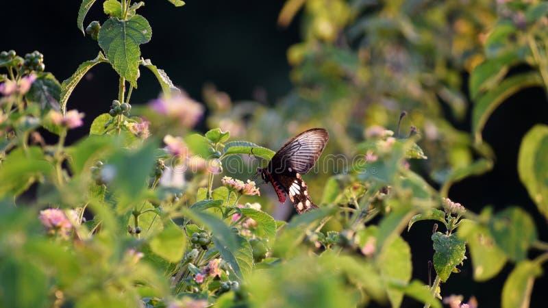 Zwarte Vlinder royalty-vrije stock foto