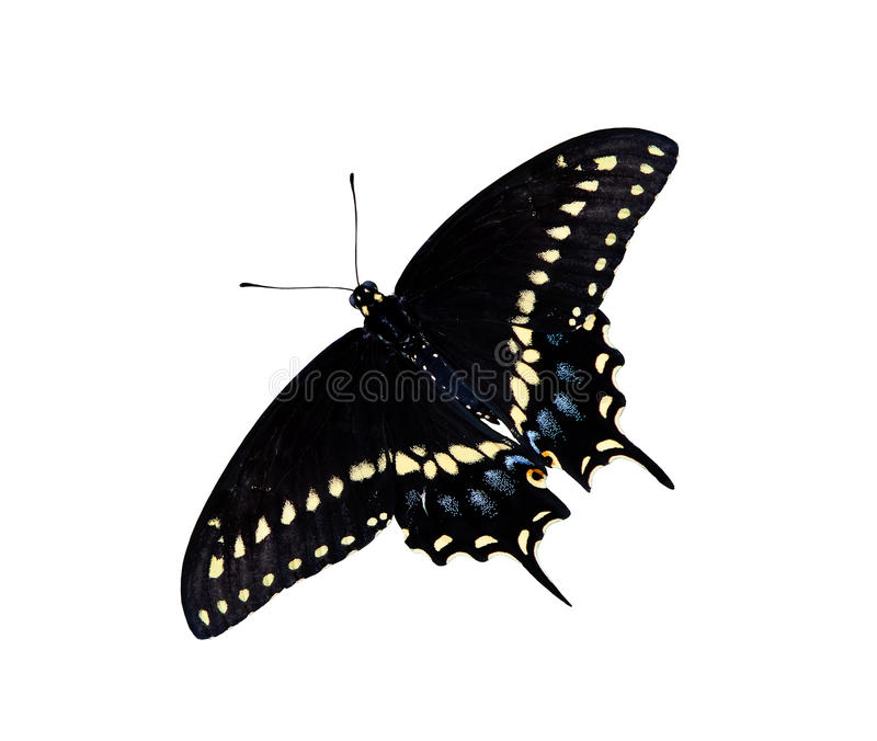 Zwarte vlinder Swallowtail (Papilio polyxenes) royalty-vrije stock foto