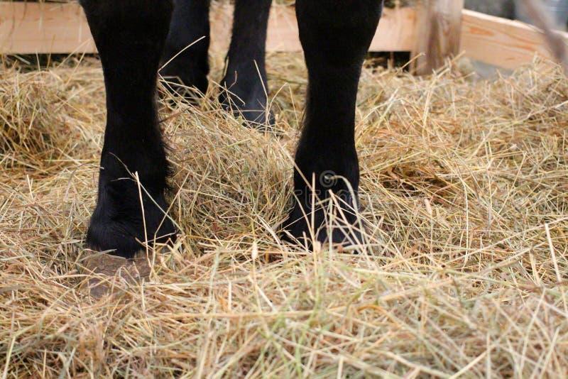 Zwarte voeten van het paard die zich op het stro in de paddock op het landbouwbedrijf bevinden royalty-vrije stock afbeelding