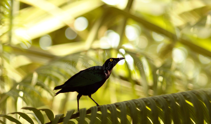 Zwarte Vogel stock afbeelding