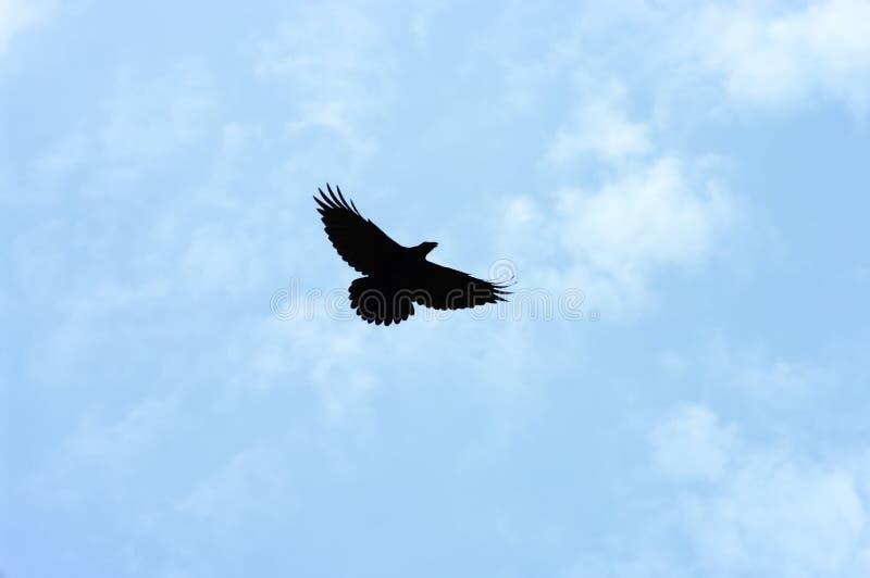 Zwarte Vogel royalty-vrije stock foto
