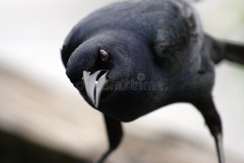 Zwarte vogel stock fotografie