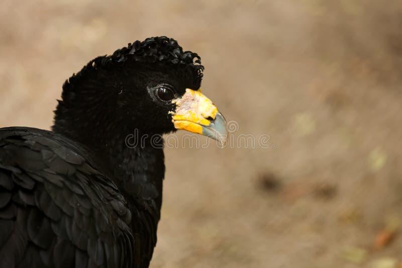 Zwarte vogel curassow royalty-vrije stock foto