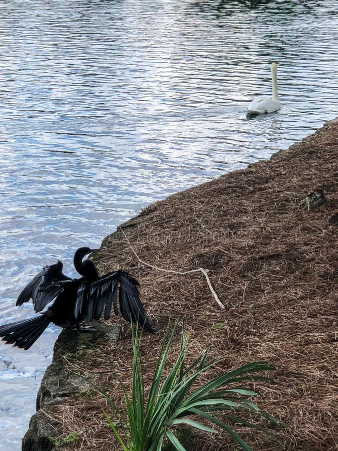 Zwarte vogel en witte zwaan door meer in Florida stock fotografie