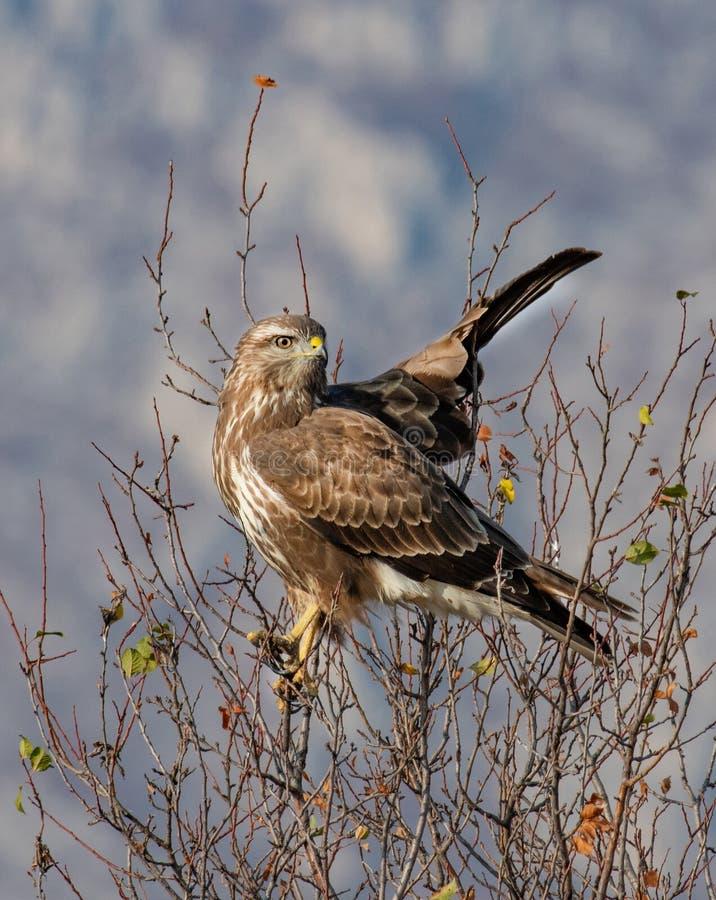 Zwarte Vogel Gemeenschappelijke Raaf, Corvus corax Wild het levensdier royalty-vrije stock fotografie