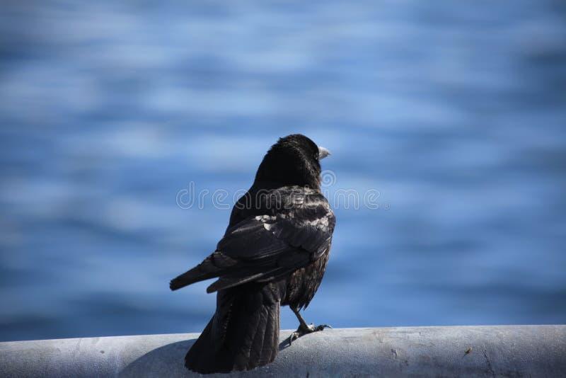 Zwarte vogel, meer stock afbeelding