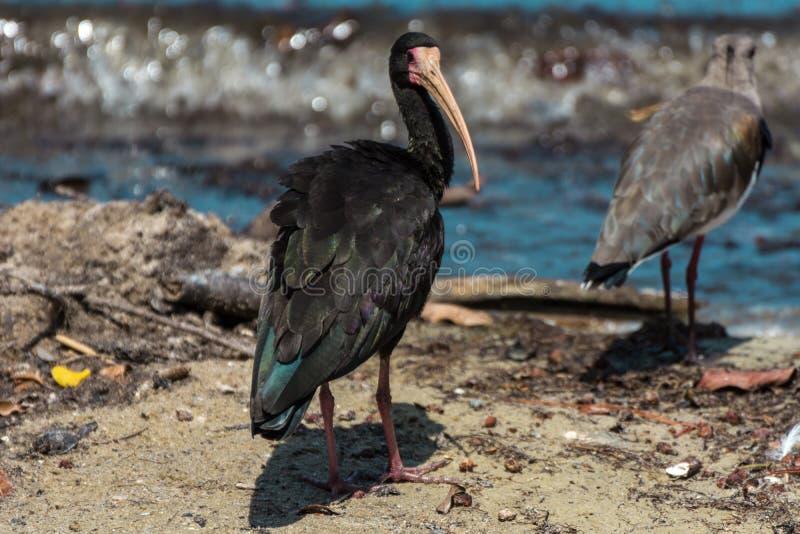 Zwarte vogel met een grote bek die zich dichtbij een meer, in Florianopolis, Brazili? bevindt royalty-vrije stock afbeelding