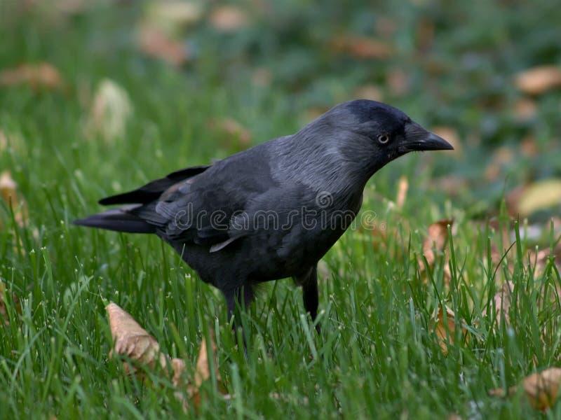 Zwarte vogel op het gras stock fotografie