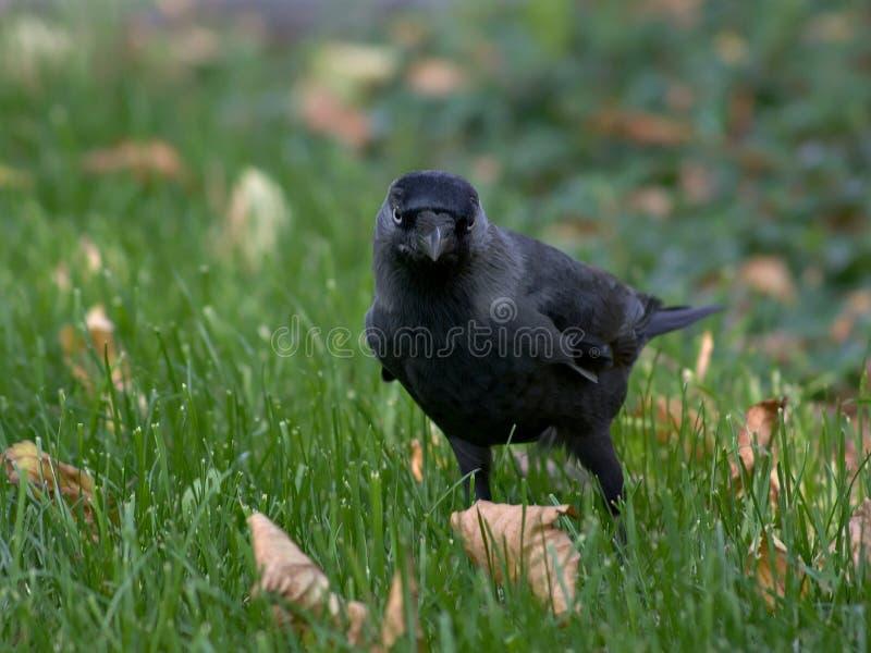 Zwarte vogel op het gras stock foto's