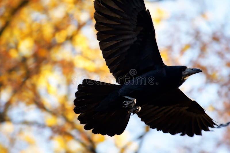 Zwarte Vogel tijdens de vlucht royalty-vrije stock afbeelding