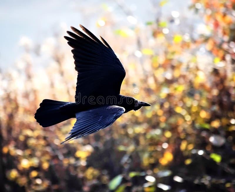 Zwarte Vogel tijdens de vlucht royalty-vrije stock foto's