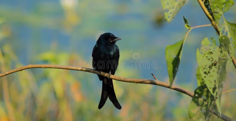Zwarte Vogel (Zwarte Drongo) stock afbeeldingen