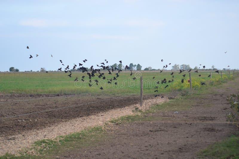 Zwarte vogels die over het land vliegen royalty-vrije stock foto's
