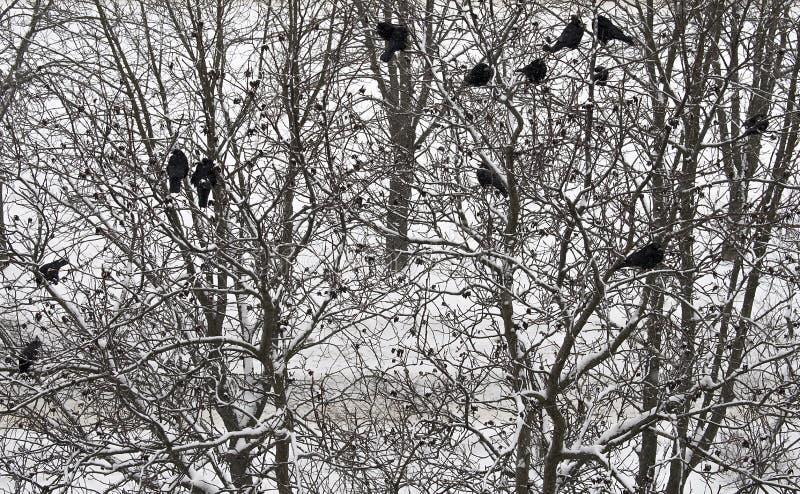 Zwarte vogels op de behandelde takken van de sneeuwboom De achtergrond van de winter Hoogste mening stock afbeelding