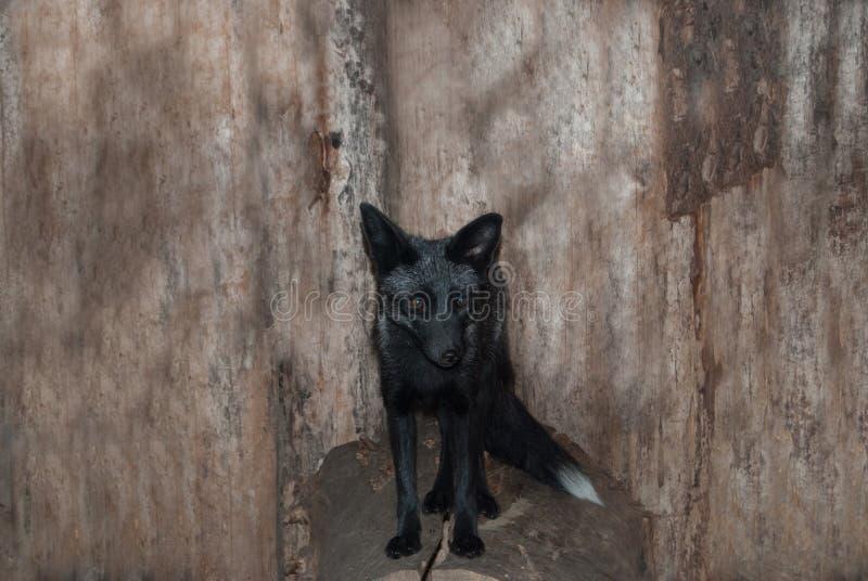 Zwarte Vos stock afbeeldingen