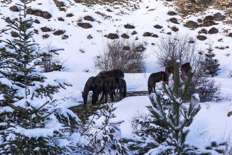 Zwarte vrije paarden bij Ziria-berg Sparren met sneeuw op een de winterdag worden behandeld, de Zuid-Peloponnesus, Griekenland da royalty-vrije stock afbeelding