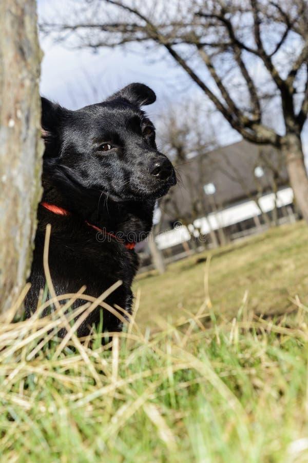 Zwarte weinig hond stock foto's