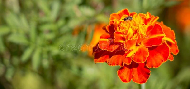 Zwarte weinig kleine bijenzitting op een rode tagetebloem in de tuin tijdens de zomer stock afbeeldingen