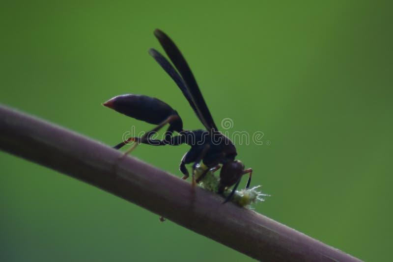 Zwarte wesp die een insect in amazonas Peru doden royalty-vrije stock foto's