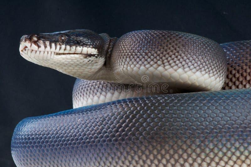 Zwarte wit-lipped python royalty-vrije stock foto's
