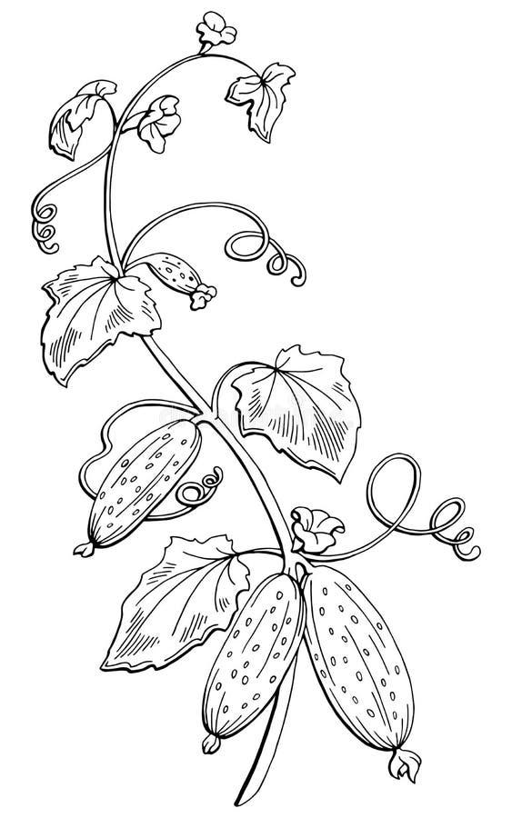 Zwarte witte de schetsillustratie van de komkommer grafische struik stock illustratie
