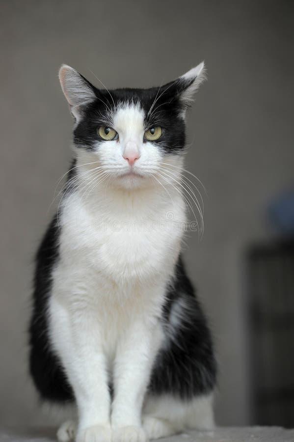 Zwarte witte kat stock foto
