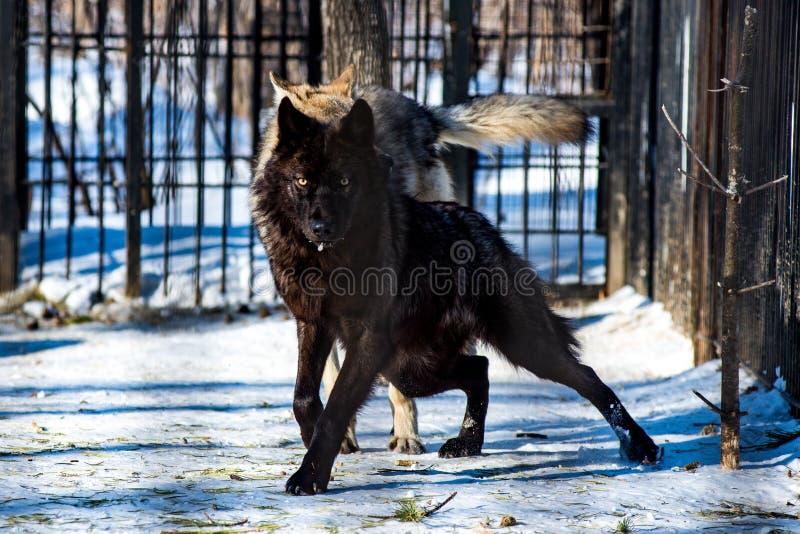 Zwarte wolf in de sneeuw stock afbeelding