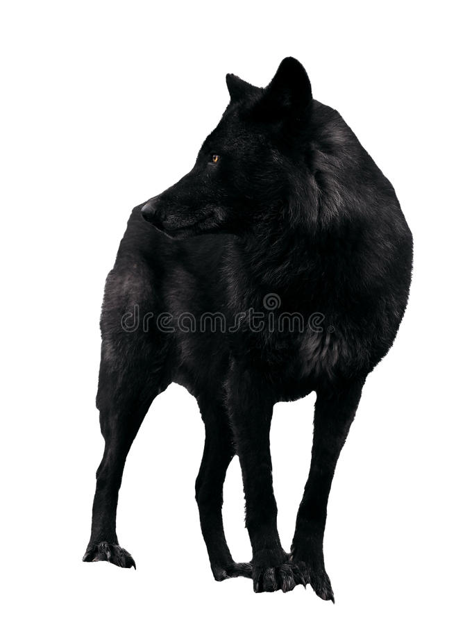 Zwarte wolf die terug kijken die op wit wordt geïsoleerd stock afbeelding