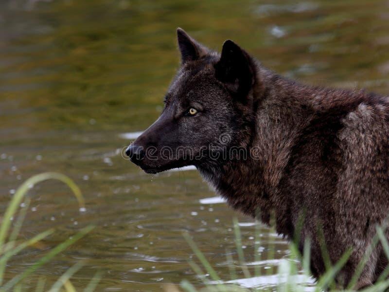Zwarte wolf voor een vijver royalty-vrije stock afbeelding