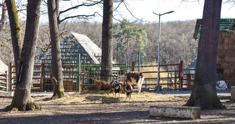 Zwarte wollige ram in de achteryard van het landbouwbedrijf in een zonnige de lentedag stock fotografie