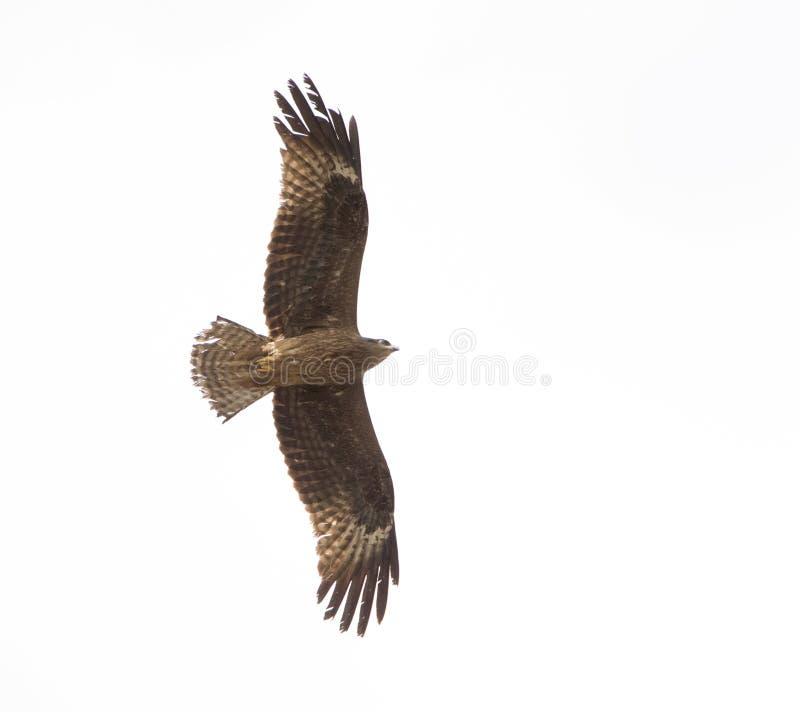 Zwarte Wouw, Black Kite, Milvus migrans royalty free stock images