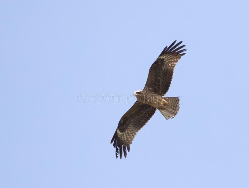 Zwarte Wouw, Zwarte Vlieger, Milvus migrans royalty-vrije stock foto's