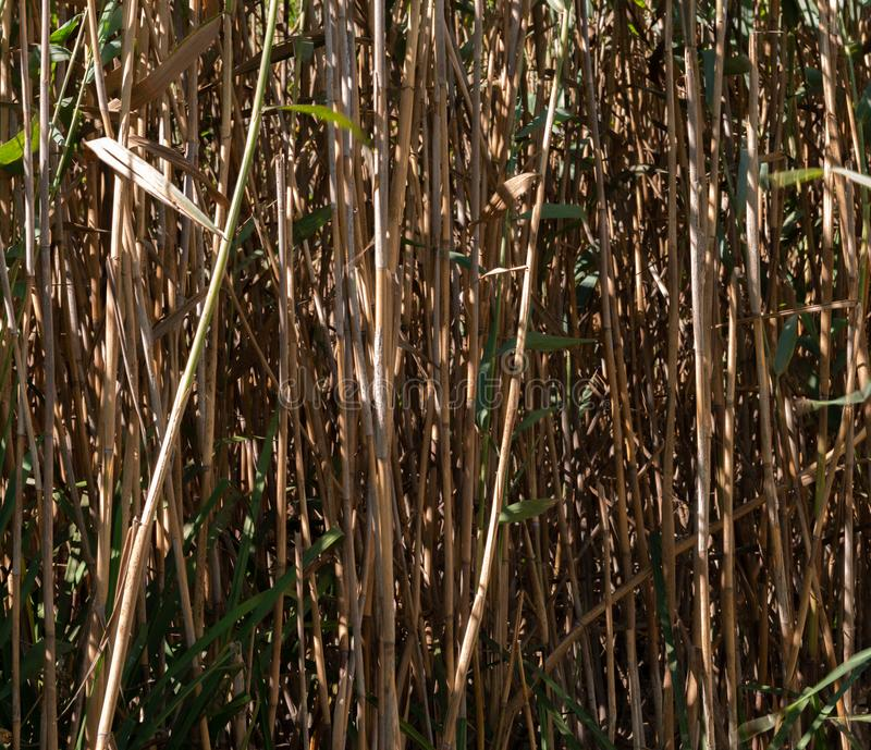 Zwarte, wysokie bagno płochy w lesie, fotografia stock