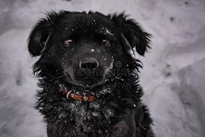 Zwarte yardhond, met ruwharig haar, Retriever De winter, ijzig weer en heel wat witte sneeuw royalty-vrije stock afbeeldingen