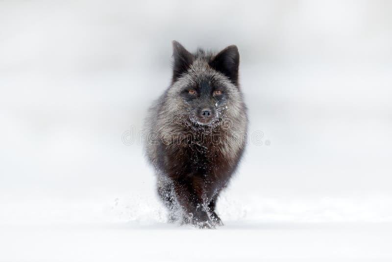 Zwarte zilveren vos, zeldzame vorm De donkerrode vos jacht in bos het Wildscène van de sneeuwweide van wilde aard Grappig beeld v royalty-vrije stock afbeelding