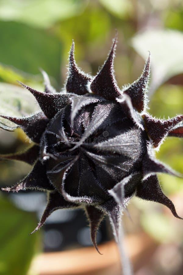 Zwarte zonnebloemknop royalty-vrije stock fotografie