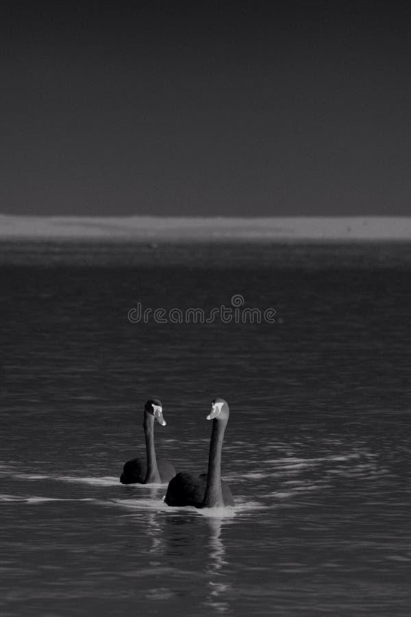 Zwarte zwaan stock foto's