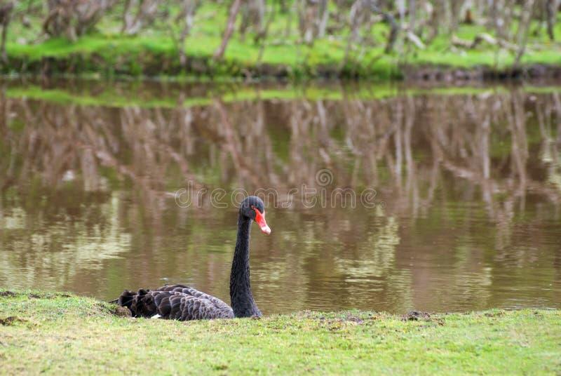 Zwarte Zwaan (atratus Cygnus) royalty-vrije stock foto's