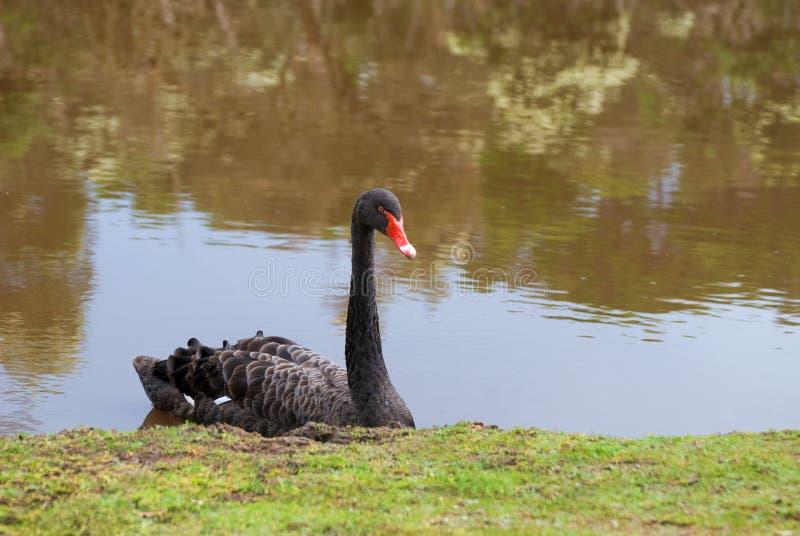 Zwarte Zwaan (atratus Cygnus) royalty-vrije stock foto
