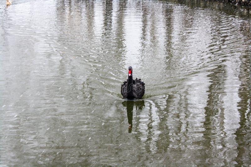 Zwarte Zwaan die op de vijver drijft stock afbeeldingen
