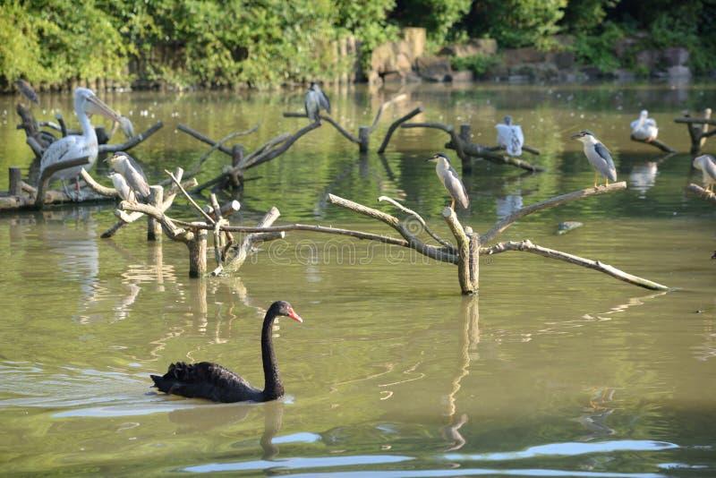 Zwarte zwaan en vogels in vijver stock foto
